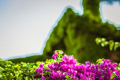 Bracts of bougainvillea glabra Royalty Free Stock Photography