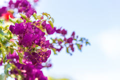 Bracts of bougainvillea glabra. Fuchsia and purple bracts of bougainvillea glabra Royalty Free Stock Images