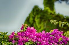 Bracts of bougainvillea glabra Stock Photos