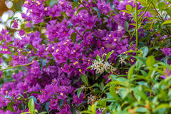 Bracts of bougainvillea glabra Royalty Free Stock Images