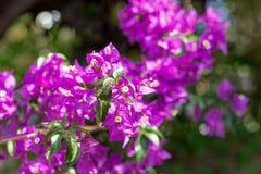 Bracts of bougainvillea glabra. Fuchsia and purple bracts of bougainvillea glabra Royalty Free Stock Photo