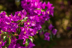 Bracts of bougainvillea glabra Stock Photography