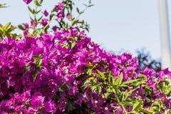 Bracts of bougainvillea glabra. Fuchsia and purple bracts of bougainvillea glabra Royalty Free Stock Photography