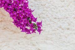 Bracts of bougainvillea glabra. Fuchsia and purple bracts of bougainvillea glabra Stock Image