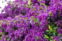 Bracts of bougainvillea glabra. Fuchsia and purple bracts of bougainvillea glabra Royalty Free Stock Image