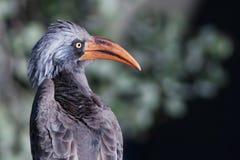 bradfield hornbill s Στοκ φωτογραφίες με δικαίωμα ελεύθερης χρήσης
