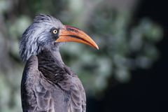 Bradfield's Hornbill Royalty Free Stock Photos