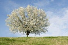Bradford-Birnenbaum in der vollen Blüte Lizenzfreies Stockbild