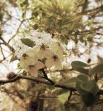 Bradford Blooms. Bradford pear tree flowers Stock Photography