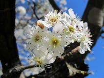 Bradford Pear Bloom mot en blå himmel royaltyfri fotografi