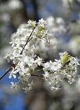 Bradford pear blooms up close as spring arrives royalty free stock photography