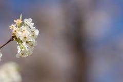 Bradford Pear Blossom Royalty-vrije Stock Afbeeldingen