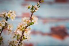 Bradford pear blossom Stock Photos