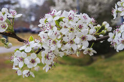 Bradford Pear Blossom Cluster Stock Photo