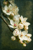 Bradford Pear Blossoms Ala Grunge Royalty Free Stock Photography