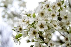 Bradford pear tree in bloom stock photo