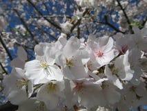 Bradford Pear Blossoms no Sun Fotografia de Stock Royalty Free