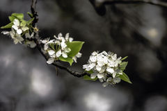 Bradford Pear blossoms Stock Photo