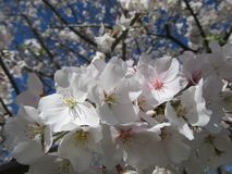 Bradford Pear Blossoms in the Sun Royalty Free Stock Photography