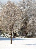 Bradford Pear Tree Royalty Free Stock Photo