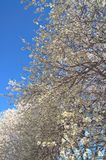 Bradford Pear Tree Royaltyfri Fotografi