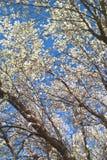 Bradford Pear Tree Royaltyfri Bild