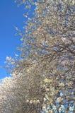Bradford Pear Tree Royalty Free Stock Photography