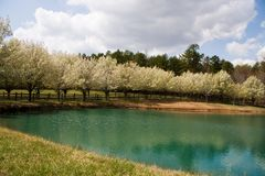Free Bradford Pear Tree Blooms Royalty Free Stock Photography - 4687797