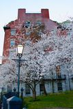 A Bradford Pear Tree on the corner of a Street Royalty Free Stock Photo