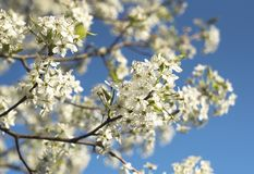 Bradford Pear tree flowering blossoms bloom on colorful spring d stock image