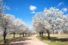 Free Bradford Pear Trees Blooming In The Texas Spring Royalty Free Stock Images - 112086959