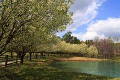 Bradford Pear Trees Blooming in primavera immagine stock libera da diritti