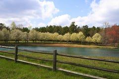 Bradford Pear Trees Blooming in primavera immagine stock
