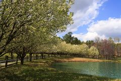 Bradford Pear Trees Blooming in the Spring. Bradford Pear Trees in full spring bloom around a small pond beside the driveway royalty free stock image