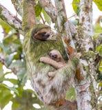 Bradipo adulto femminile con il giovane bradipo fotografia stock