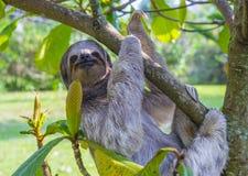 Bradipo in Costa Rica immagine stock libera da diritti