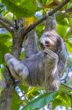 Bradipo in Costa Rica Fotografia Stock