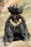 bradipo dell'orso Fotografia Stock