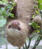 bradipo Due-piantato Fotografia Stock Libera da Diritti
