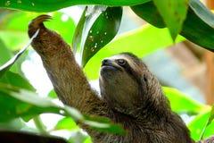 Bradipo in Puerto Viejo, Costa Rica Fotografie Stock Libere da Diritti