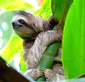 Bradipo in Puerto Viejo, Costa Rica Fotografia Stock