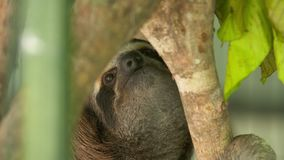 Bradipo sveglio fissare sulla corteccia di albero, Costa Rica stock footage