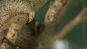bradipo Thee-piantato che tiene una corteccia di albero, Costa Rica video d archivio