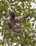 bradipo Tre-piantato Fotografia Stock