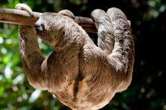 bradipo tre-piantato Brown-throated fotografia stock