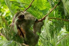 Bradypus tocado con la punta del pie tres Variegatus de la pereza, tomado el La Fortuna, Costa Rica foto de archivo