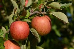 Braeburn apples Stock Images