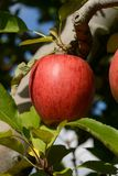 Braeburn apples Stock Photos