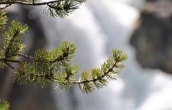 Bragg för granträd liten vik Royaltyfri Bild
