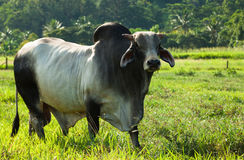 Braham cow in green pasture Royalty Free Stock Photos